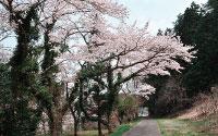 大原湖畔エリア桜並木沿い散策路