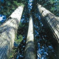 滑の三本杉
