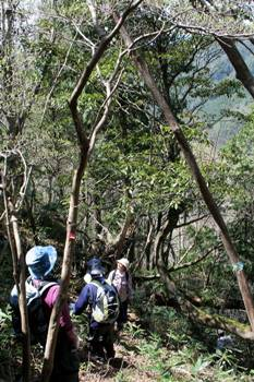 ヤマグルマの大きな木